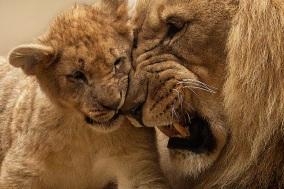 lion-animal-predator-big-cat-40803.jpg