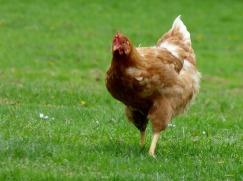 chicken-750334_960_720